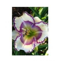 HusMah White Violet Hibiscus Seeds
