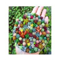 HusMah Mix Succulent Seeds