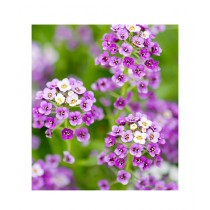 Leaf Gardening Sweet Alyssum Bright Violet Seeds