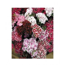 Leaf Gardening Sweet William Duplex Double Mixed Seeds