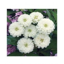 Leaf Gardening Zinnia Giant Double White Seeds
